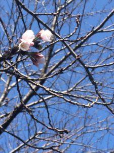 2019年大分市の桜開花を勝手に宣言