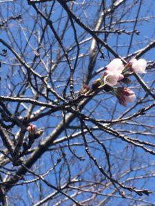 2019年大分市の桜を勝手に宣言する蕾つき